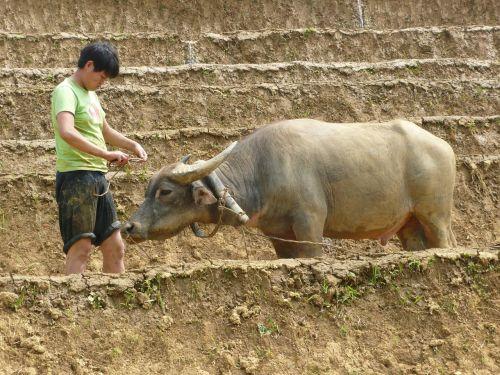 svogūnai,Vietnamas,asija,Žemdirbystė,vidaus,ūkis,kanopas,gyvuliai