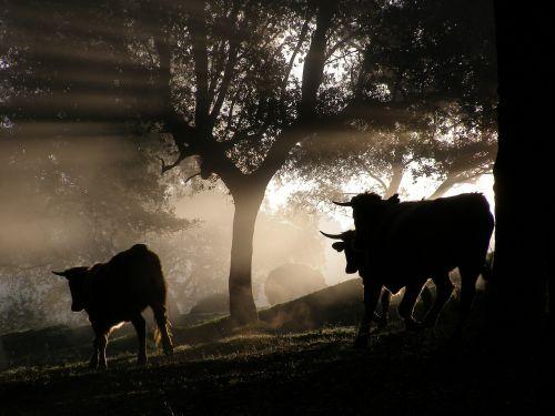 buliai,miškas,gyvūnai,ragai,gamta,gyvuliai