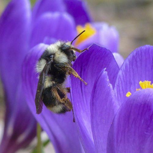 kamanė,violetinė,Crocus,augalas,gėlė,pavasaris,sezonas,vabzdys,gamta,gyvūnas,makro,žiedadulkės,nektaras,rinkti,sodas