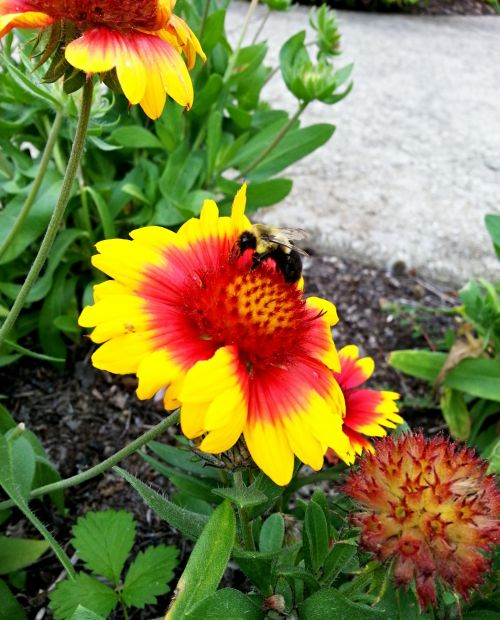 bumble & nbsp, bitė, bitės, spalvinga, gėlės, šviesus, gamta, Kamanė spalvinga gėlė