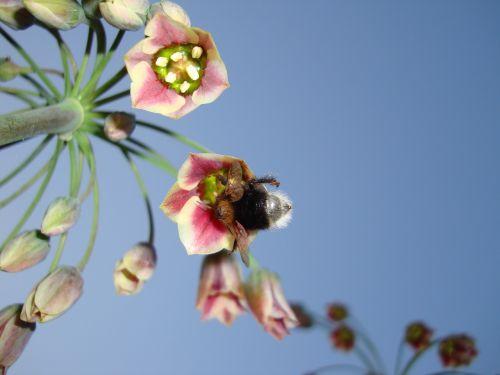 kamanė,gėlė,dangus,saulėtas,nektaras,gėlių,pavasaris