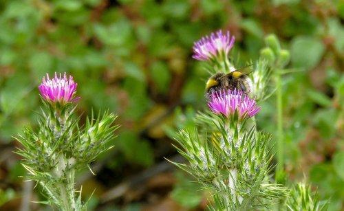 kamanė, borinot, pobūdį, augalų, gėlė, lapų, laukinių gėlių, augalų gyvūnijos, Grožio, gėlės, laukinės floros, laukinių, laukinių gėlių, pavasaris, žali lapai, žalias, gamta augalas, laukinių srityje, Laukiniai augalai, augmenija, augalas žalias, miškas, bičių, žiedadulkės