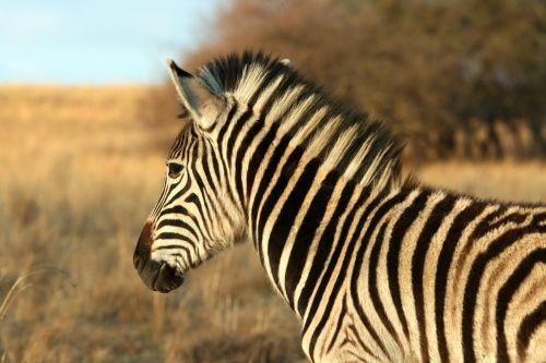 gyvūnas, žaidimas, zebra, dryžuotas, juoda, balta, veld, šviesa, šiltas, burglio zebras saulėje