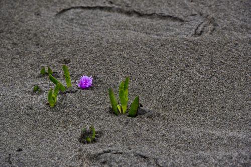 išgyventi, ledo augalas, palaidotas, auga, augimas, per, smėlis, papludimys, augalas, izoliuotas, padengtas, padengtas & nbsp, aukštyn, palaidotas smėlyje