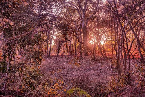krūmo saulėtekis,Louisa Creek,australian bushland