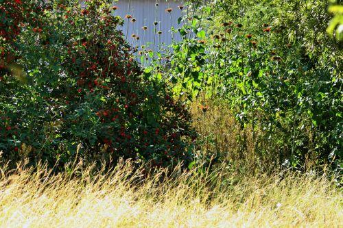 krūmas, krūmai, uogos, žolė, balinta, krūmai ir veldas