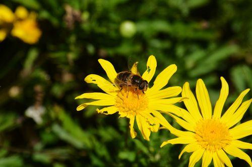 bičių, vabzdys, gėlės, žiedadulkės, gamta, maitinimas, bičių bitininkystė