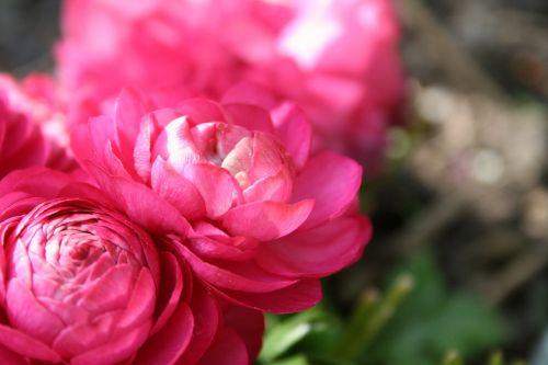 buttercup,azijietiška,gėlė,rožinis,pavasaris,augalas,gamta,žydėjimas,sodas,žydi