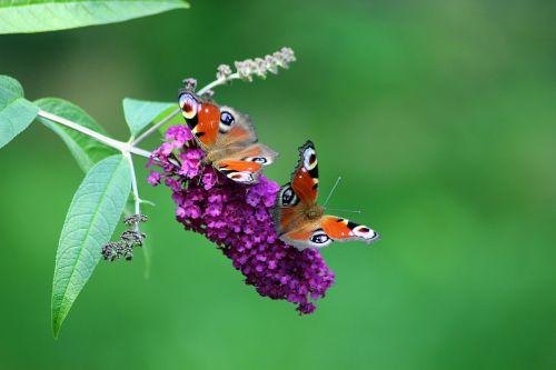 drugeliai,gamtos tagpfauenauge,vabzdžių drugelis,edelfalter