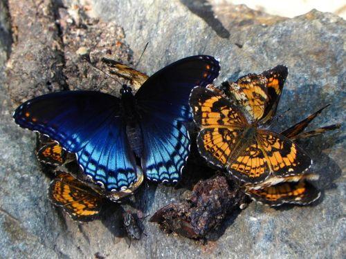 drugeliai,perlų pusmėnulis,socialinis,raudona raudona raudona,drugelis,vabzdžiai,laukinė gamta,gamta,makro,spalvinga,lauke,sparnai
