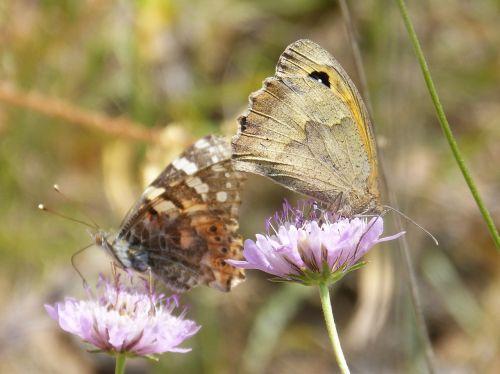 drugeliai,libar,du drugeliai,vanessa cardui,lobito sąrašas,vanesa