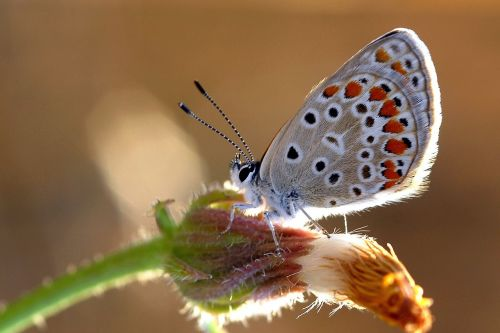 drugeliai,labai akys,ruda,ankara,Turkija,drugelis