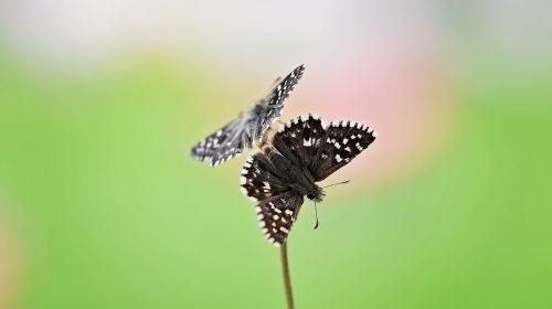 drugeliai, drugelis, vabzdys, reprodukcija, poravimas, gamta, Uždaryti