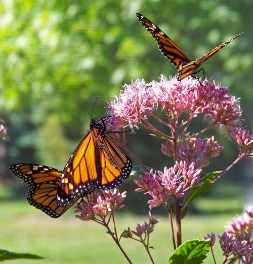 monarchas, drugelis, drugeliai, gėlė, gėlės, drugeliai ant gėlių