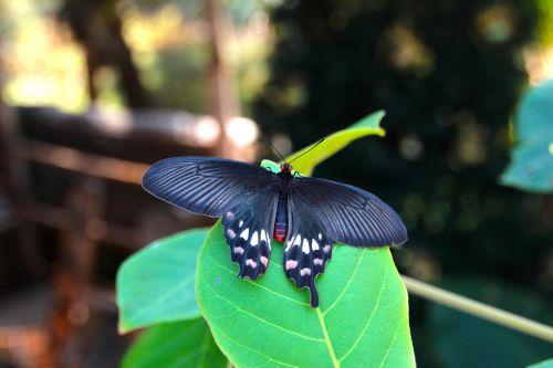 aistros drugelis,drugelis,atogrąžų,didžiausias drugelis,atogrąžų drugelis