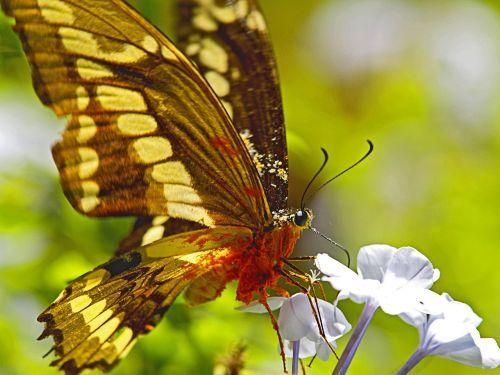 drugelis,nektaras,perkrautas,gėlė,rinkti nektarą,vabzdys,žiedadulkės,makro,Uždaryti,gamta,vasara,spalvinga,Brazilija,džiunglės,iguacu