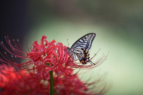 swallowtail,gėlės,raudona spalva,drugelis,gėlės,raudona,raudona voras lelija,gėlė