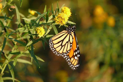 drugelis,monarchas,gėlė,monarcho drugelis,vabzdys,sparnai,laukinė gamta