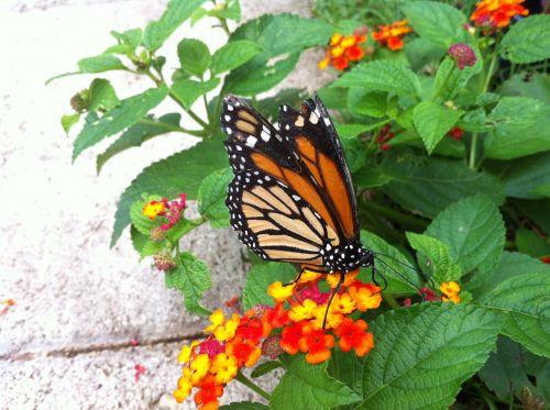 drugelis,monarchas,monarcho drugelis,oranžinė,sparnai,vasara,gamta,gėlė