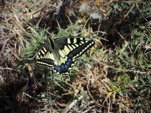 drugelis,fauna,derinti,sparnas,vabzdys,gamta,gyvūnas