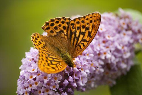 drugelis,fritillary,sodo drugelis,anglų drugelis,paplitęs drugelis,buda