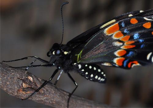 drugelis,makro,vabzdys,gamta,swallowtail,klaida,sparnas
