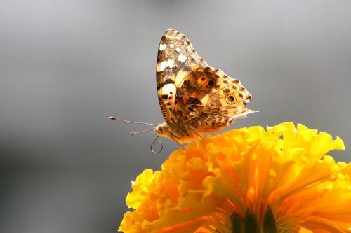 drugelis,Uždaryti,makro,flora,gamta,žydėjimo šakelė,gyvūnų pasaulis,vabzdys,spalvinga,makrofotografija,augalas,drugelio makro,vabzdžių makro,gyvūnas,sparnas,gėlė,fauna