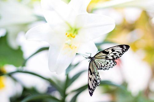 drugelis,Velykų lelija,gamta,gėlė,drugelis ant gėlių,pavasaris