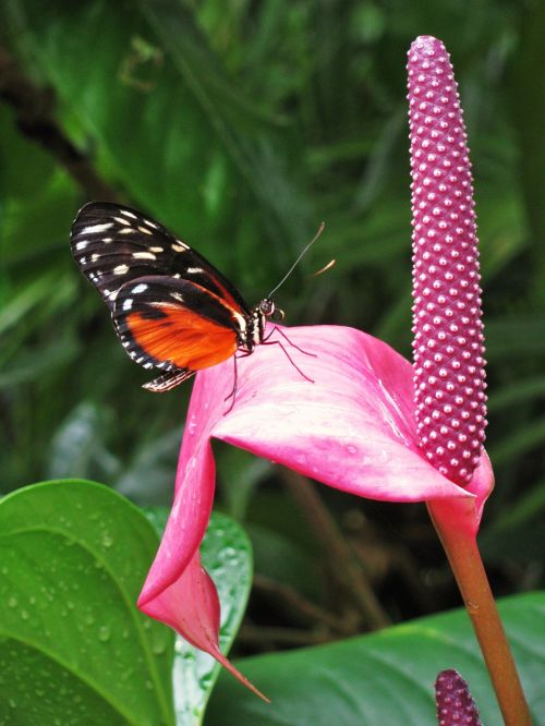 drugelis,monarchas,gamta,monarcho drugelis,vabzdys,sparnai,klaida,gėlė,makro