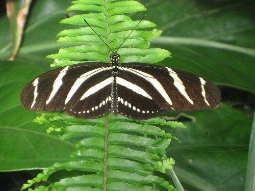 drugelis,vabzdys,gyvūnas,papartis,gamta,juoda,balta,zebra longwing,heliconian heliconius,drugeliai,edelfalter,nymphalidae