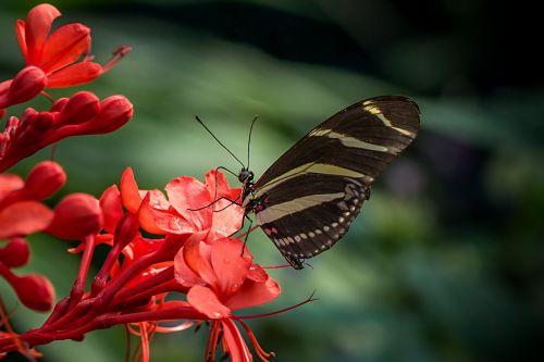 drugelis,zebra,heliconius charitonija,lepidoptera,Pietų Amerika,atogrąžų
