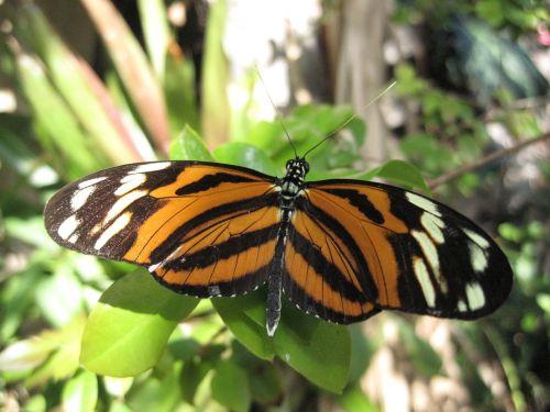 drugelis,tigro drugelis,gamta,vabzdys,oranžinė,spalvinga,natūralus,pavasaris,žalias,juoda,modelis,vasara,sodas,mielas,sparnas,patrauklus,klaida