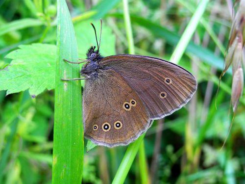 drugelis,vabzdys,gamta,sparnai,drugelio sparnai,babočkovití,gyvūnas,antenos
