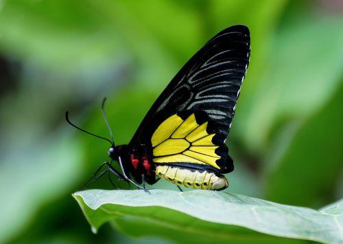 drugelis, birdwing, portretas, laukinė gamta, gamta, makro, uždaryti & nbsp, viešasis & nbsp, domenas, tapetai, fonas, spalvinga, swallowtail, augalas, vabzdys, subtilus, juoda, lapai, geltona, nektaras, drugelis
