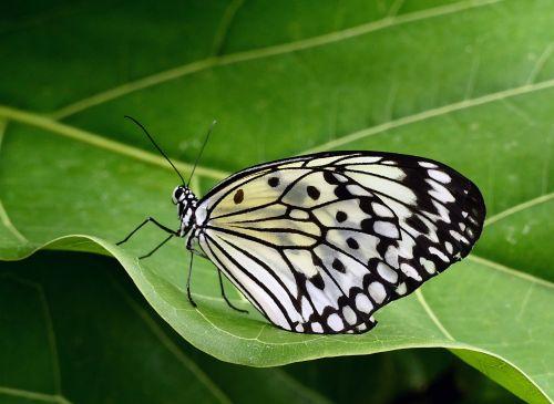 drugelis, popierius & nbsp, aitvaras, portretas, laukinė gamta, gamta, makro, uždaryti & nbsp, didelis & nbsp, medis & nbsp, nimfa, ryžiai & nbsp, popierius, viešasis & nbsp, domenas, tapetai, fonas, spalvinga, swallowtail, augalas, vabzdys, subtilus, juoda, lapai, balta, nektaras, idėja & nbsp, leuconoe, drugelis