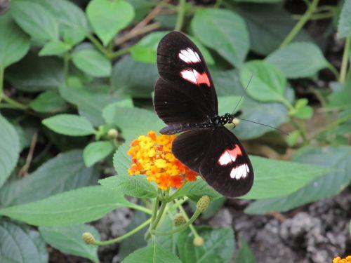 drugelis, portretas, laukinė gamta, gamta, makro, uždaryti & nbsp, viešasis & nbsp, domenas, tapetai, fonas, spalvinga, augalas, vabzdys, subtilus, lapai, nektaras, juoda, balta, rožinis, drugelis