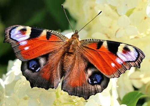 drugelis,sparnai,gėlė,nymphalidae,sodas,nektaras,vabzdžiai,skraidantis vabzdys,gražus