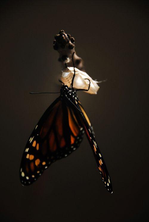 drugelis,monarchas,monarcho drugelis,vabzdys,gamta,sparnai,oranžinė,laukinė gamta,klaida,makro,spalvinga,pieneliukas,gyvenimas,subtilus,natūralus,transformacija,naujas gyvenimas