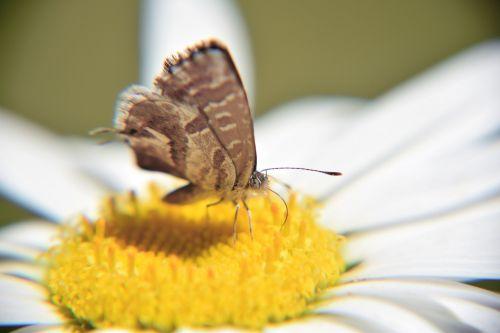 drugelis,makro,mažas drugelis,drugelis ant gėlių,drugelis ant daržovių,margaret,balta daisy,išsamiai,gamta
