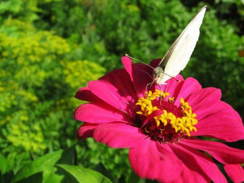 drugelis,drugelis ant gėlės,rožinė gėlė,baltas drugelis,vasara,gamta,vabzdžiai