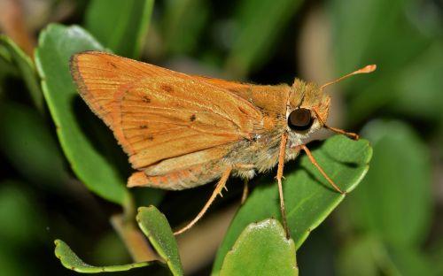 drugelis,ugnies kapitonas,sparnai,vabzdys,padaras,gamta,Iš arti,klaida,rudas drugelis,skraidantis vabzdys,sparnuotas vabzdys,sparnuotas,lapai,naktis,biologija,entomologija,nariuotakojų,hesperiinae,hylephila phyleus