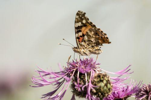 drugelis,gėlė,vabzdys,žiedas,žydėti,makro