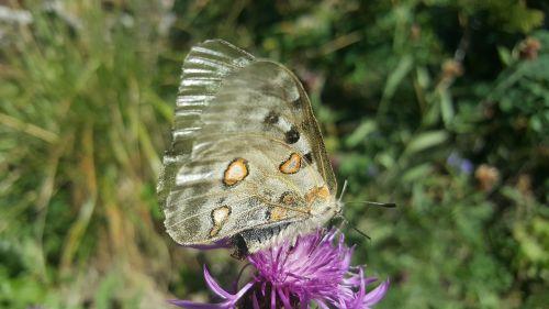 drugelis,gamta,sparnai,drugelio sparnai,gėlės,gėlė,fauna,vabzdys,drugelis ant gėlių,pilka drugelis