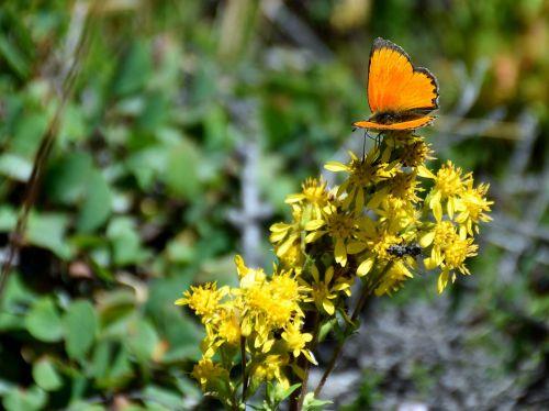 drugelis,gėlė,gamta,vabzdys,geltona,oranžinė