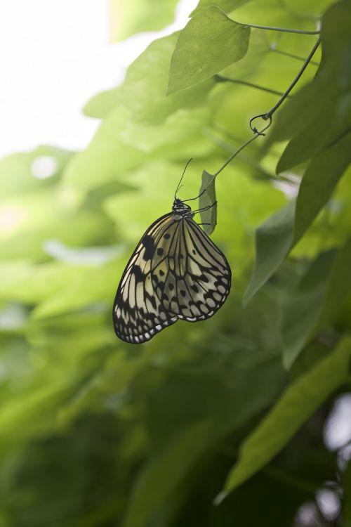 drugelis,žalias,lapai,gamta,gyvenimas,trapi,drugeliai