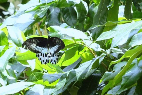 Drugelis, Vabzdys, Mėlynas Mormonas, Papilio Polymnestor, Didelis, Swallowtail Drugelis, Pietų Indija, Dharwad, Indija
