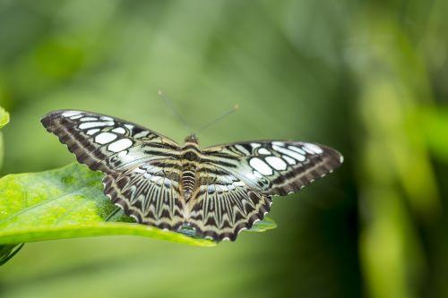 drugelis,žalias,sparnai,gamta,klaida,drugelis sodas,vabzdžiai,skristi,fauna,Papiljonas,drugelis parkas