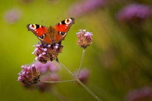 drugelis,nektaras