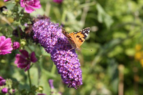 drugelis,vabzdys,gyvūnas,gyvūnų pasaulis,žiedas,žydėti,violetinė,gėlė