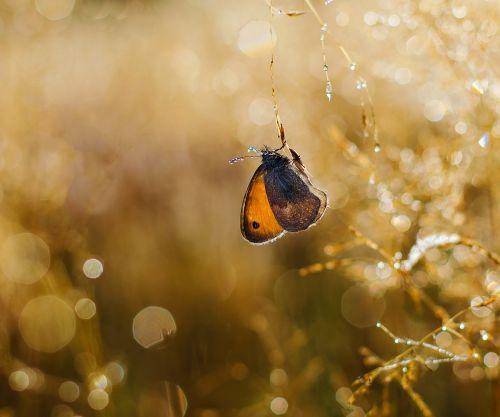 drugelis,vabzdžiai,gamta,rosa,lašai,saulės šviesa